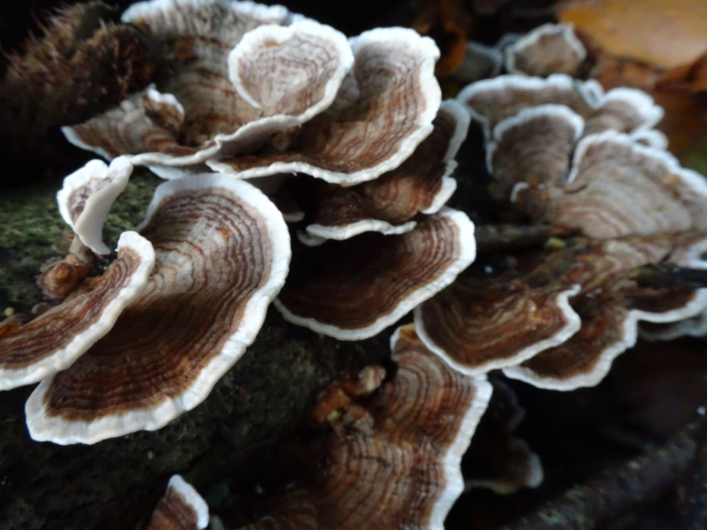 Turkeytail mushroom