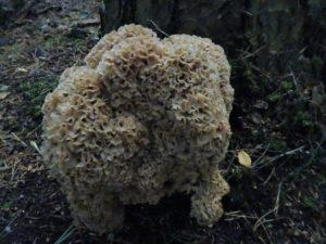 Sparassis crispa (cauliflower fungus)