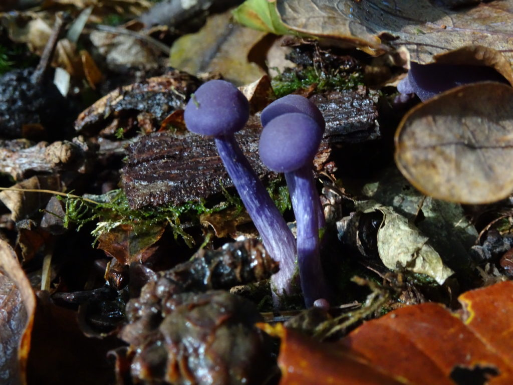 Foraged Mushroom 8: Amethyst Deceiver