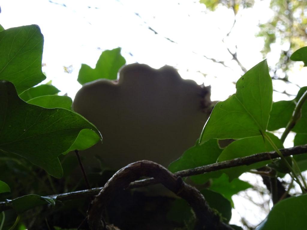 Fomitopsis betulina