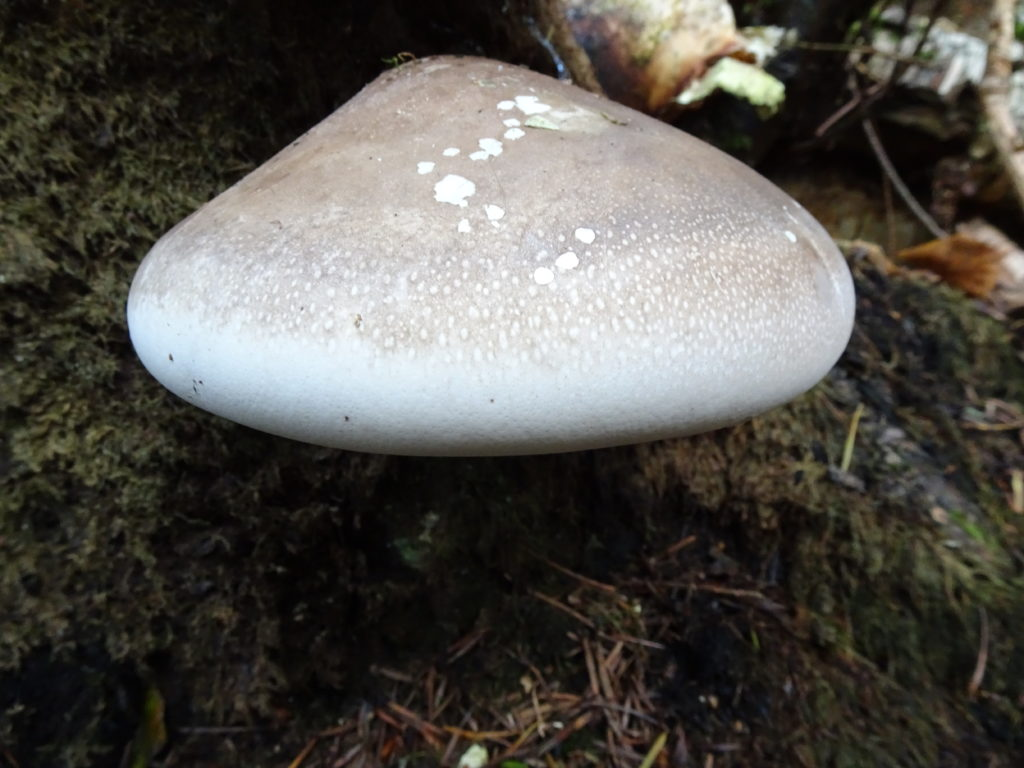 Young Birch Polypore